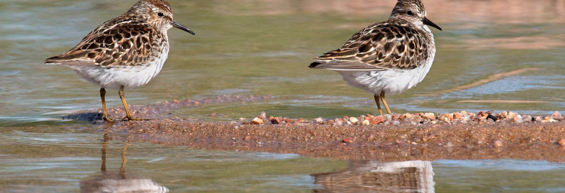 Sandpipers Chatfield State Park