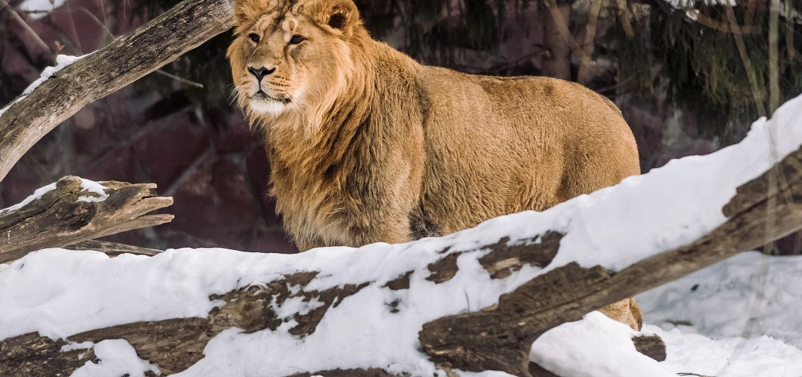 Wild Animal Lion Colorado Snow Getty Images