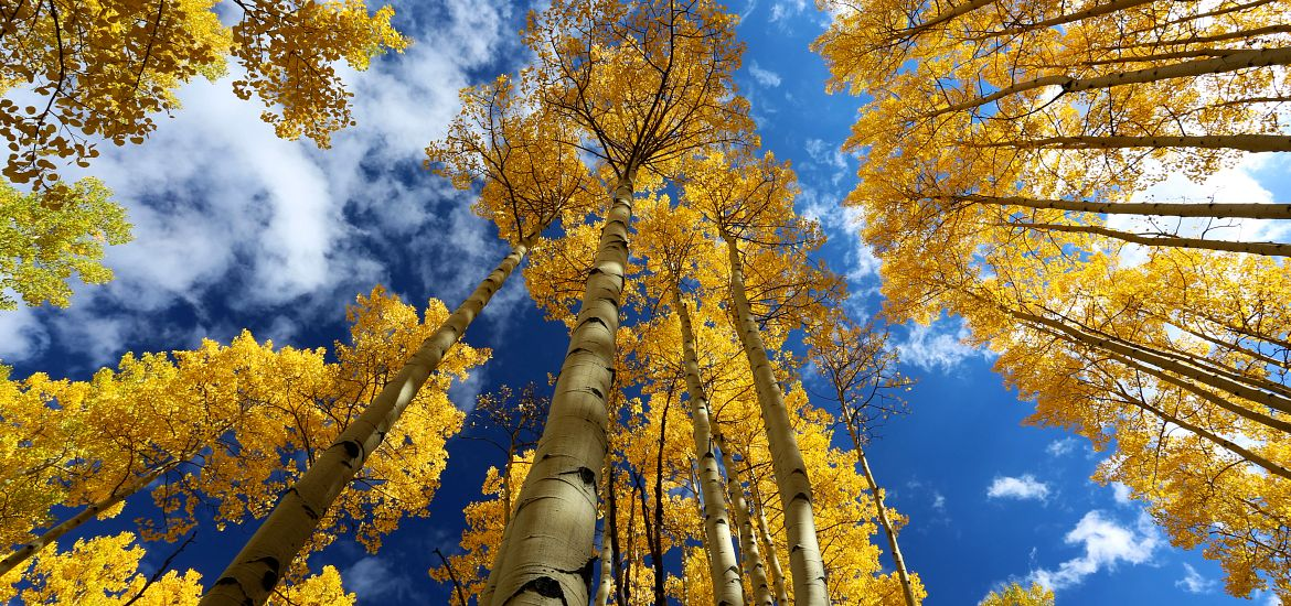 Aspen Trees Fall Colors Blue Sky CO Getty Images