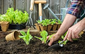 Man Hands Planting Vegetable Garden Getty Images
