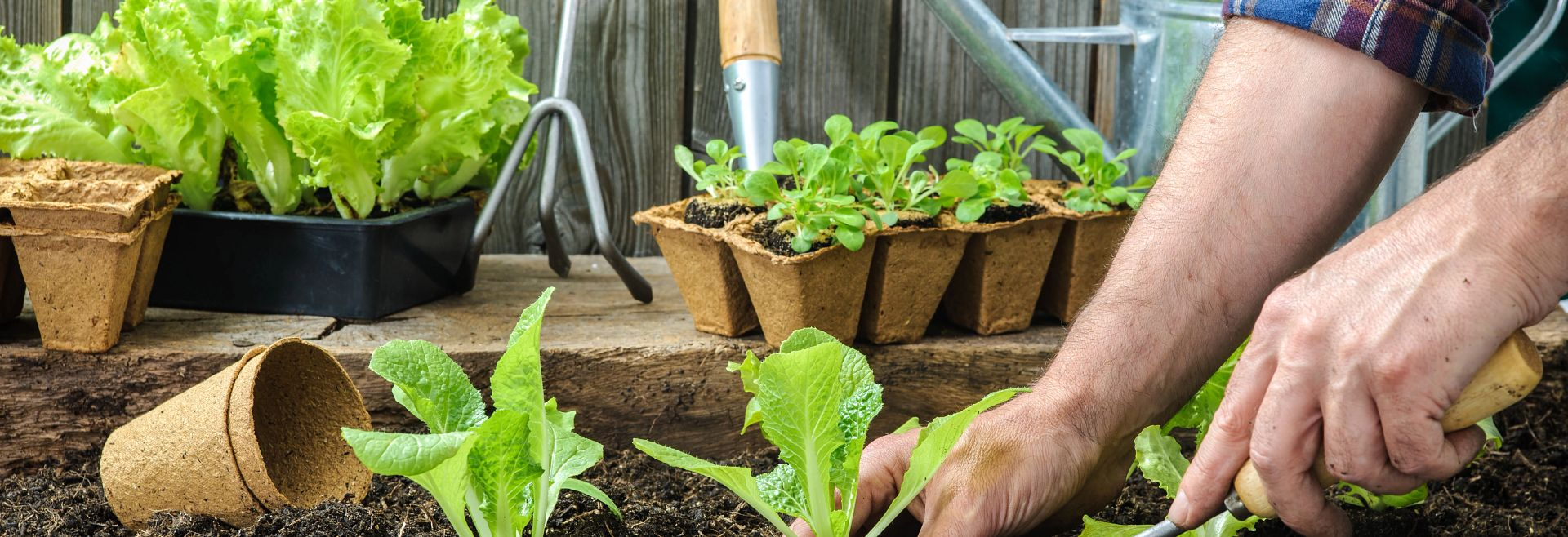 Man Hands Planting Vegetable Garden Getty Images