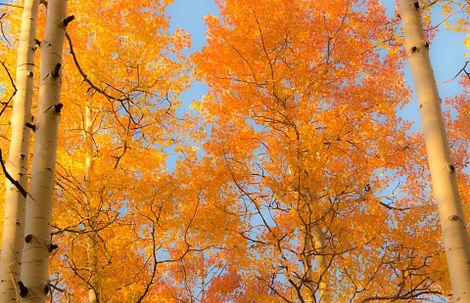 Colorado Aspen Trees in the Fall